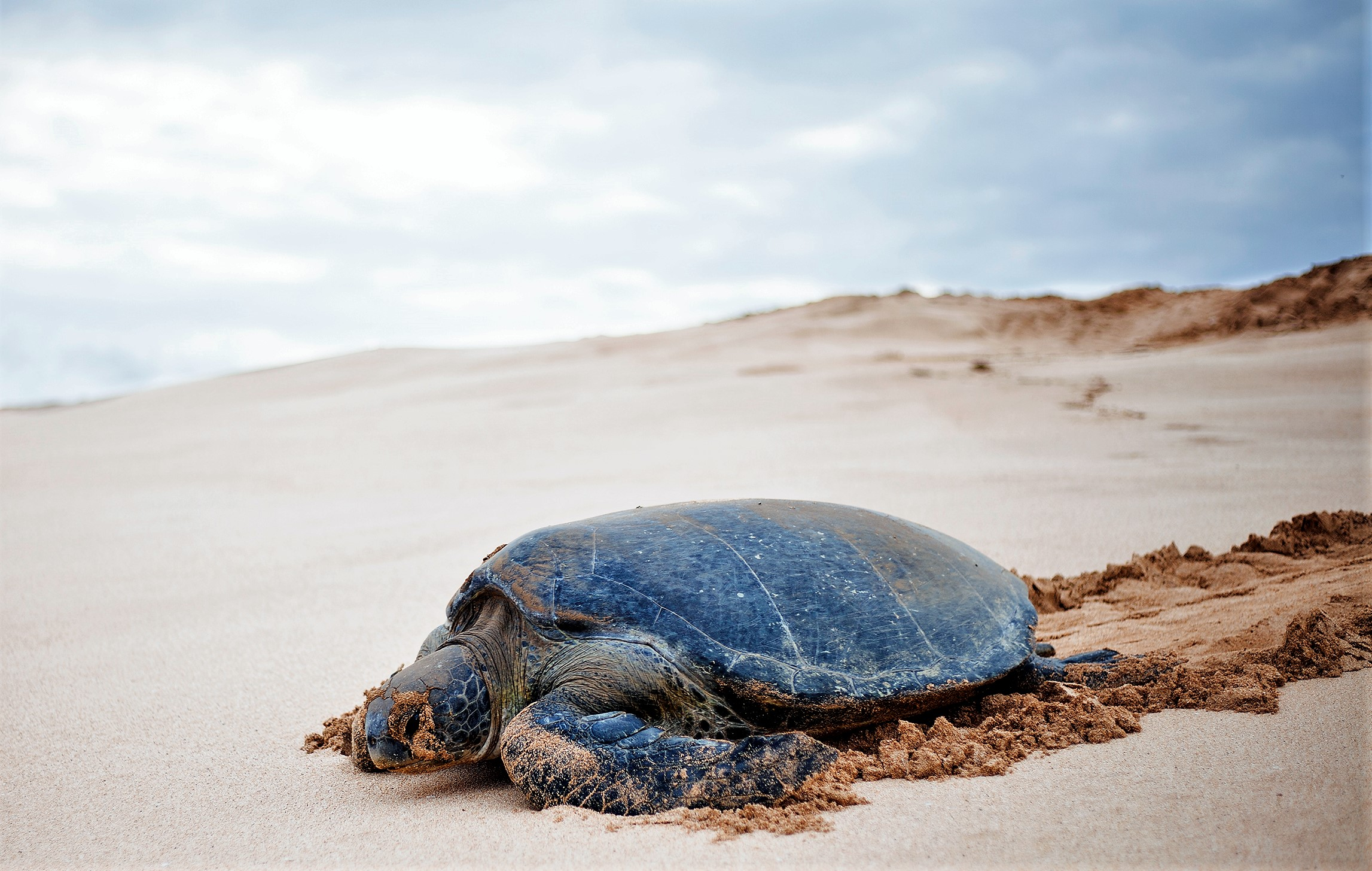 A female green turtle makes its way back to the ocean after laying its eggs.