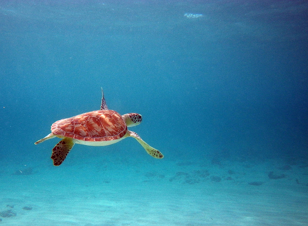 Of the world's seven species of sea turtle, all are listed by the International Union for the Conservation of Nature (IUCN) as vulnerable or endangered, due mainly to accidental catch by fishers, plastic pollution, and increasingly from sea level rise, which floods turtle nests on beaches.