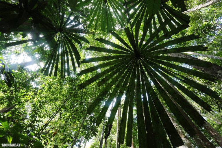 Rainforest in Sarawak, Malaysia. Photo by Rhett A. Butler.