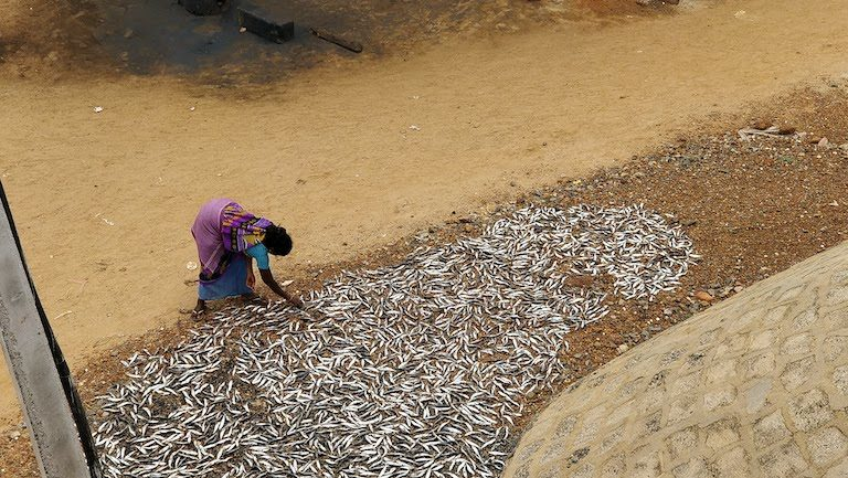A woman dries fish on the shore of Pulicat Lake, the second largest brackish water lagoon in India, around 50 kilometers (31 miles) from the city of Chennai. There are nearly 4 million fisherfolk in India, with 61 percent of families living in poverty. Image by Mahima Jain.