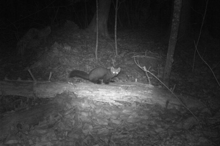 American marten. Camera trap images courtesy of Maximilian L Allen.