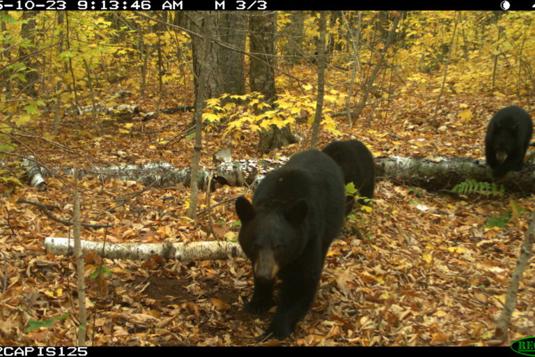 Black bears. Camera trap images courtesy of Maximilian L Allen.