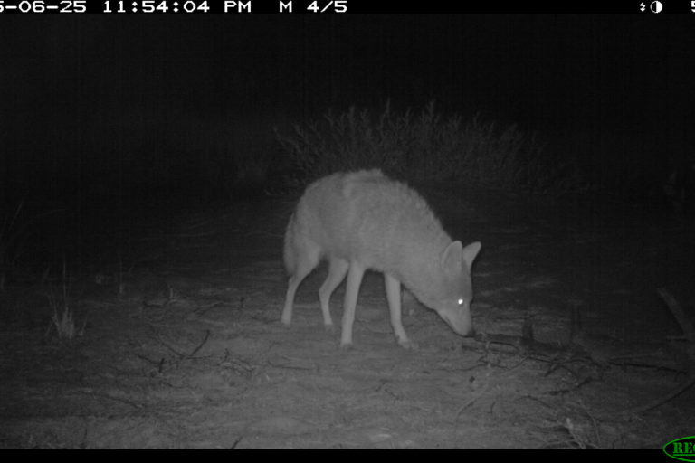 Coyote. Camera trap images courtesy of Maximilian L Allen.