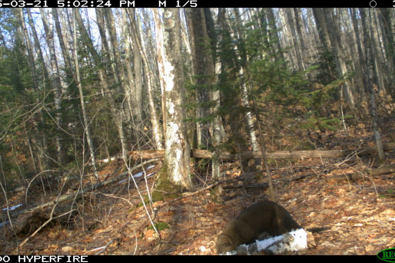 Fisher. Camera trap images courtesy of Maximilian L Allen.