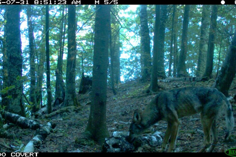 Gray wolf. Camera trap images courtesy of Maximilian L Allen.