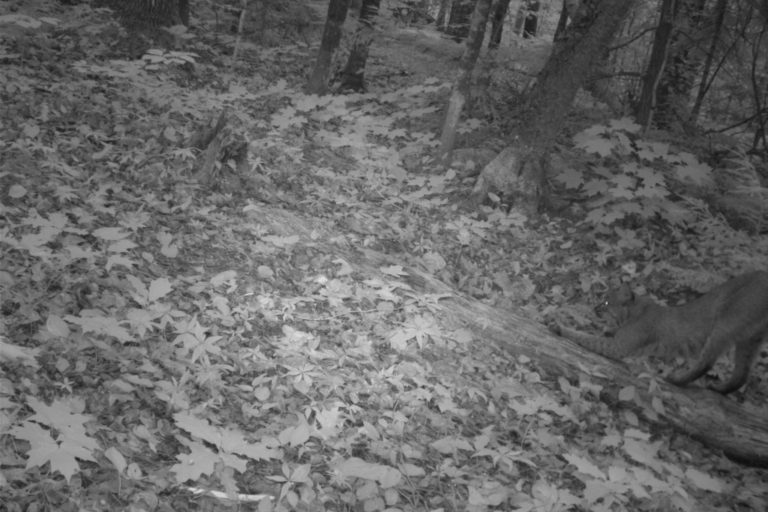 Bobcat. Camera trap images courtesy of Maximilian L Allen.