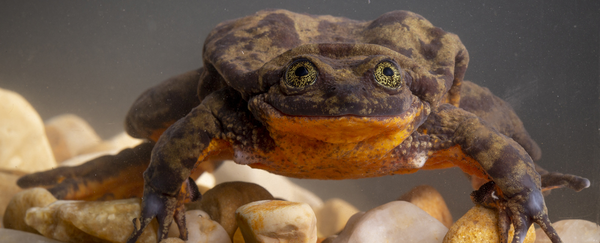 Romeo the Sehuenca water frog. Photo by Robin Moore, Global Wildlife Conservation.