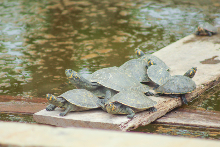 Turtles in the conservation project in Guyana. Photo courtesy Ereika DeAndrade.