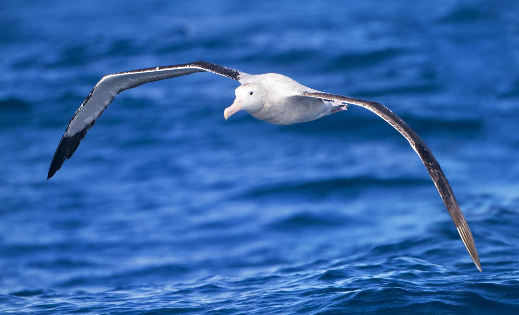 A wandering albatross (Diomedea exulans) in flight off Tasmania, Australia. These birds have the wingspan of up to 3.5 meters (11.5 feet) of any bird and can soar for hours without flapping. Photo credit: JJ Harrison  (jjharrison89@facebook.com) via Wikimedia Commons, CC 3.0.