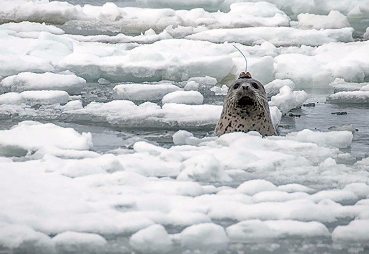 This male spotted seal (Phoca largha) in the Bering Sea wears a biologging tag on its head, which facilitates data transmission when the animals surfaces. The tag's Argos satellite transmitter estimates its location and sends data to scientists. Its pressure gauge measures how deep the animal dives, and a conductivity sensor measures the percentage of time the tag is out of the water. The tag is attached to the seal's hair to study its use of sea ice and remained on the animal for 6 to 8 weeks. Photo credit: National Oceanographic and Atmospheric Administration (NOAA).