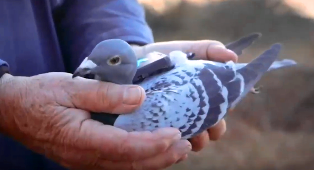 A member of the Plume Labs pigeon air patrol wearing a tiny backpack biologger that collected data on air pollutants across London over several days during the city's rush hour periods. The information was disseminated via an app and Twitter to raise awareness of air quality. Screenshot image from a project video.