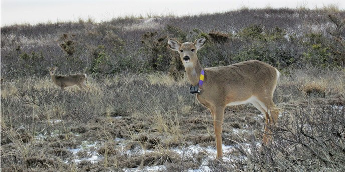 Large, terrestrial mammals can carry tags that collect more data over longer time periods. This female white-tailed deer fitted with a GPS-enabled radio tracking collar stands in the back dune habitat of Fire Island, where scientists studied the influence of deer on post-storm vegetation regeneration. Photo credit: U.S. National Park Service.