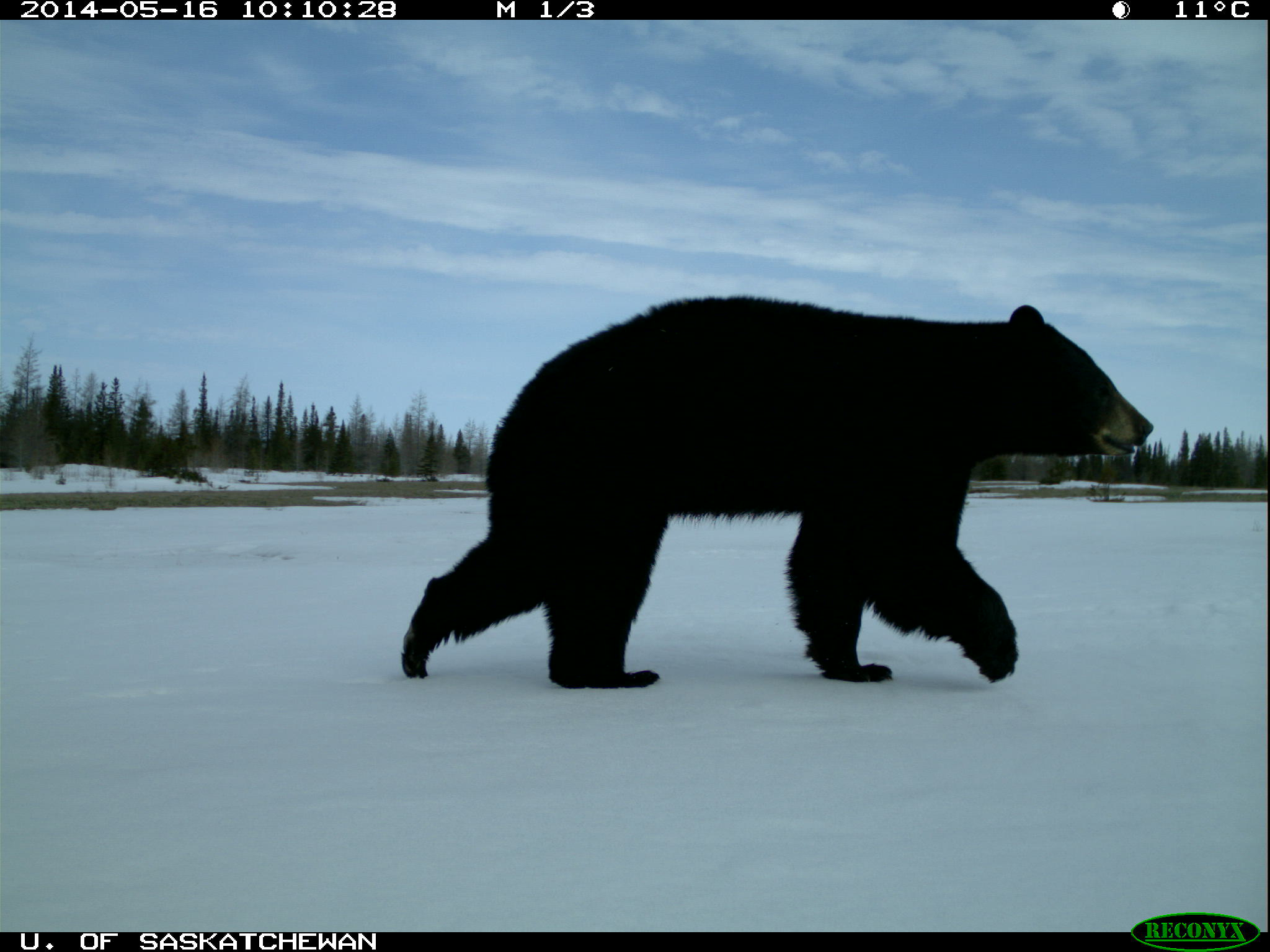 A black bear was captured wandering past a camera trap roughly three hours after a polar bear. Scientists are exploring temporal and spatial overlap among the three bear species.