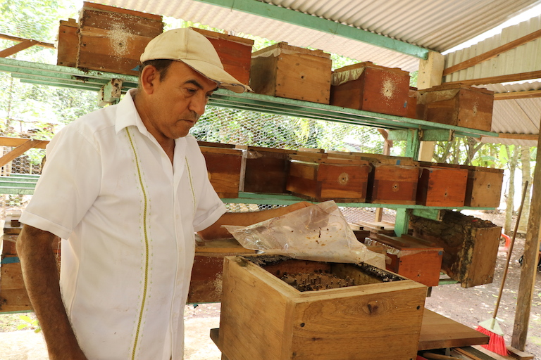 Juan Manuel Torres Zapien inspects a hive at one of his family's two growing meliponarios in La Pantera, Quintana Roo state. The hive is housed in a custom-built box assembled at his family's carpentry workshop. Image by Richard Arghiris for Mongabay.