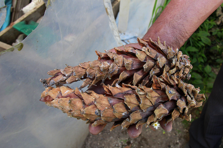 Caribbean pine (Pinus caribaea) cones, a source of seeds for Concepción Chiquirichapa's town nursery. Image by Jorge Rodríguez for Mongabay.