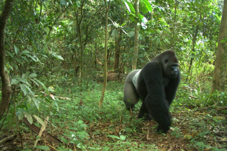 For the world's rarest gorillas, a troubled sanctuary