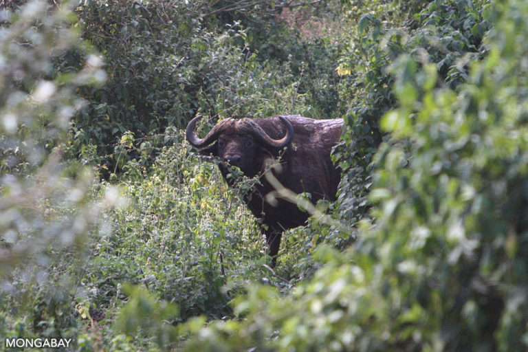 Buffalo in Loita forest shortly before the elephant encounter.