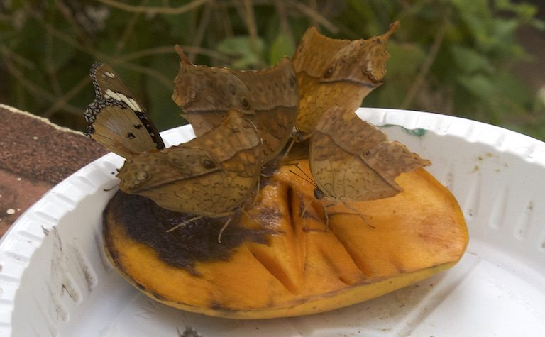 A common blue charaxes (Charaxes tiridates) feeds with other butterflies on a ripe mango at the Mombasa Butterfly House in Mombasa. Image by Janet Njung'e for Mongabay.