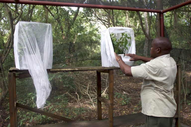Mwaringa Saha, an employee at the Kipepeo Butterfly Project, tends the shed used to train farmers at Kipepeo's office in Gede. Image by Janet Njung'e for Mongabay.
