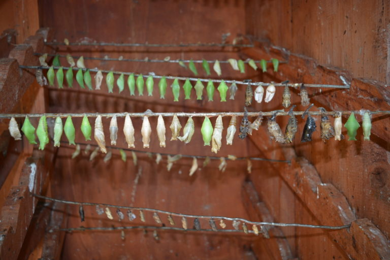 Butterfly pupae in a cage at the Mombasa Butterfly House in Mombasa. Image by Janet Njung'e for Mongabay.