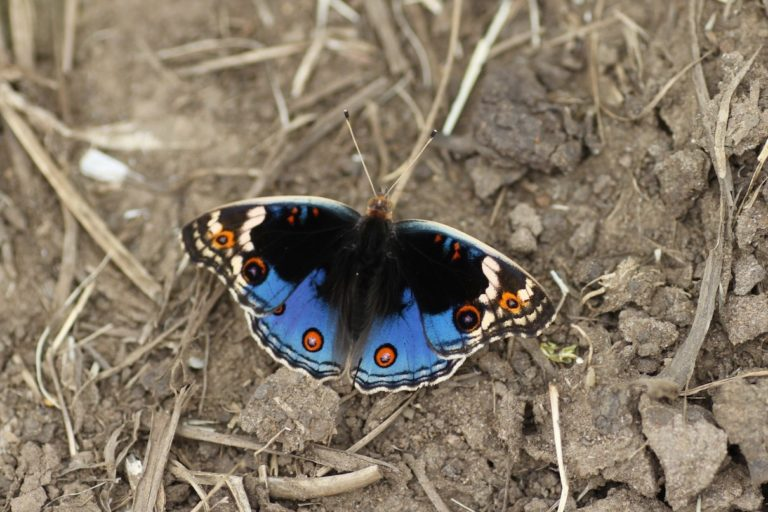 A blue pansy (Junonia orithya), a species occasionally available through Kipepeo Butterfly Project. Image by yakovlev.alexey via Flickr (CC BY-SA 2.0).