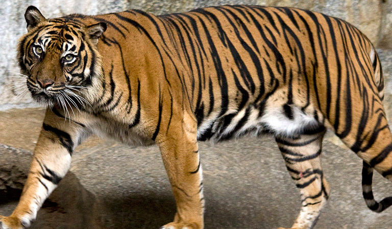 photo image Sumatran tiger killed at London Zoo by potential mate