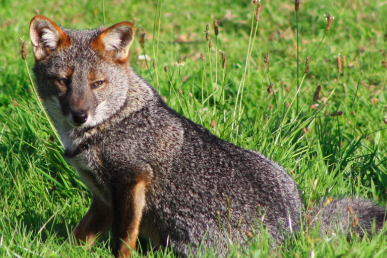 Latam Eco Review: Twilight for Darwin's foxes, nightlife for jaguarundis