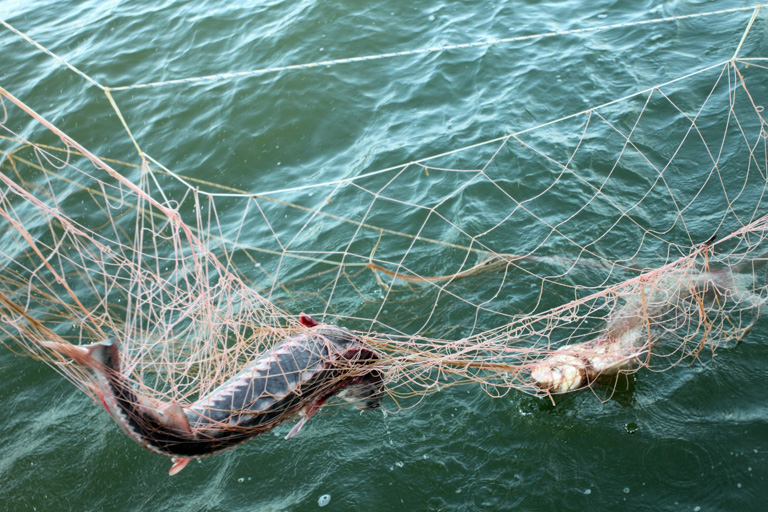 Corruption-riddled caviar trade pushes fish closer to extinction