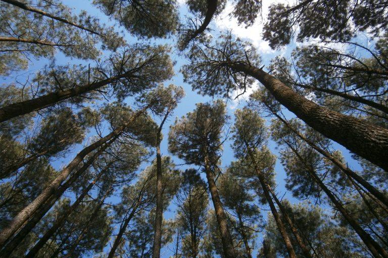 Giant pines a tourist draw, cash cow for Yogyakarta farmers