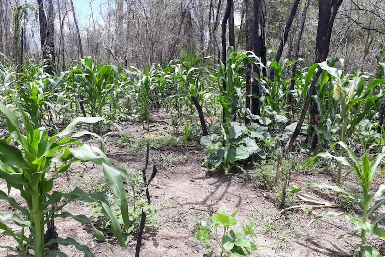 Corn sprouts at an illegal plantation inside Menabe Antimena's core conservation zone. Image courtesy of Durrell Wildlife Conservation Trust.