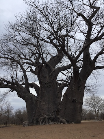 An ancient baobab tree in the Nyae Nyae Conservancy. Image by John Grobler for Mongabay.