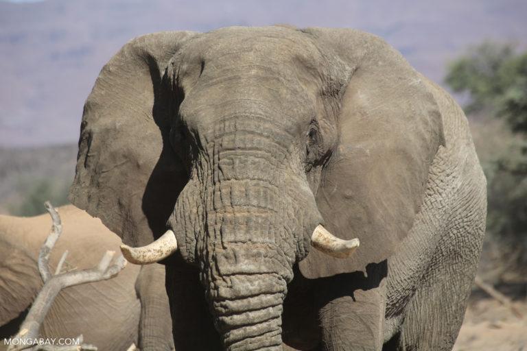 Elephant in Namibia. Photo credit: Rhett A. Butler