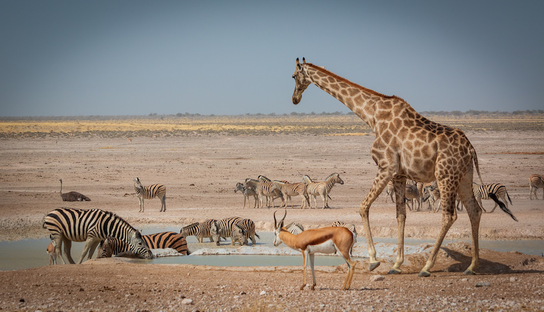 Animals gather at a waterhole in Etosha National Park. Image by Martin de Lusenet via Flickr (CC BY 2.0).
