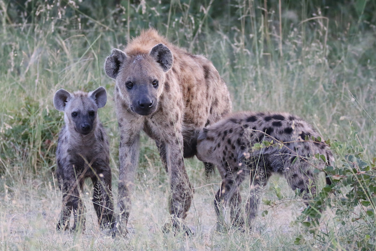A spotted hyaena photographed in Namibia's Caprivi region. Image by Per Arne Slotte via Flickr (CC BY-SA 2.0).