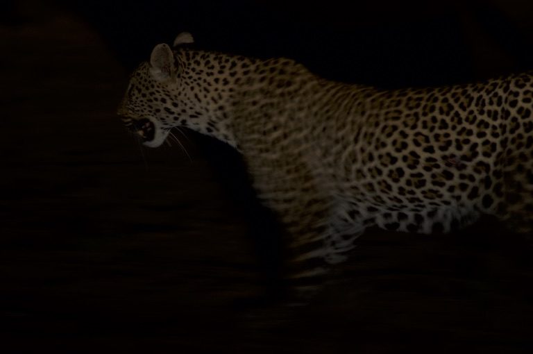 A leopard on SORALO lands. Image by Guy Western.
