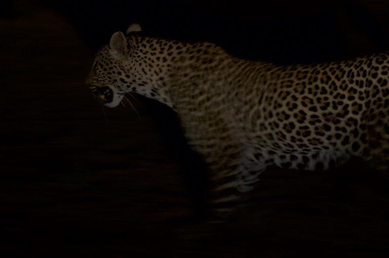 A leopard on SORALO lands. Image by Guy Western.
