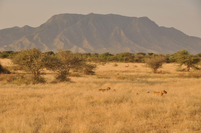 Lions near Shompole Hill on the Shompole Group Ranch. Image by Guy Western.