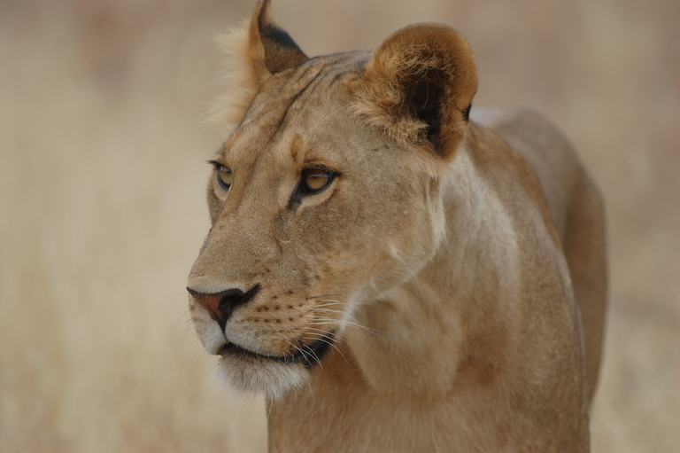 A lioness named Ngiso. Image by Guy Western.
