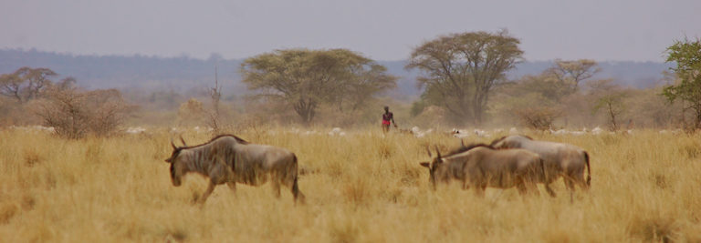 Wildebeest and livestock coexist in the SORALO landscape. Image by Guy Western.