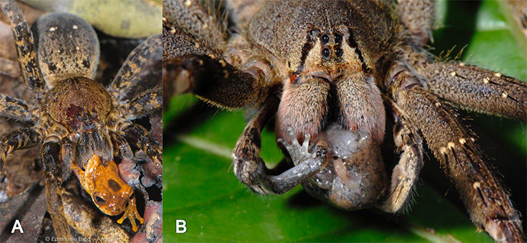 (A) The spider Ancylometes sp. (Ctenidae) preying upon an adult Dendropsophus leali; (B) the spider Phoneutria sp. (Ctenidae) preying on a sub-adult Hamptophryne boliviana. Photos by Emanuele Biggi (A) and Francesco Tomasinelli (B).