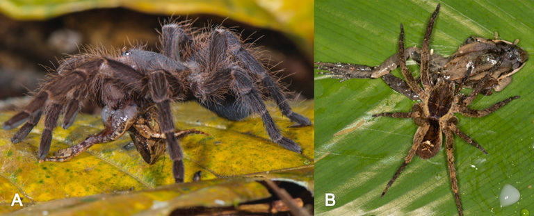 (A) A theraphosid spider, cf. Pamphobeteus sp. (Theraphosidae), preying upon Hamptophryne boliviana; (B) a ctenid spider (Ctenidae) preying upon Leptodactylus didymus. Photos by Emanuele Biggi (A) and Pascal Title (C).