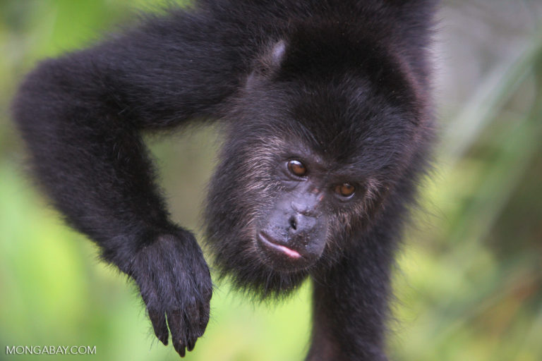 A black howler monkey (Alouatta pigra), a resident of Cerro Amay photographed in Belize. Image by Rhett A. Butler.