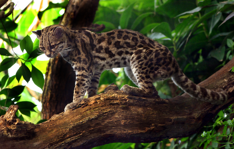 A margay (Leopardus wiedii), a resident of the Cerro Amay cloud forest. Image by Malene Thyssen via Wikimedia Commons (CC BY-SA 2.5).