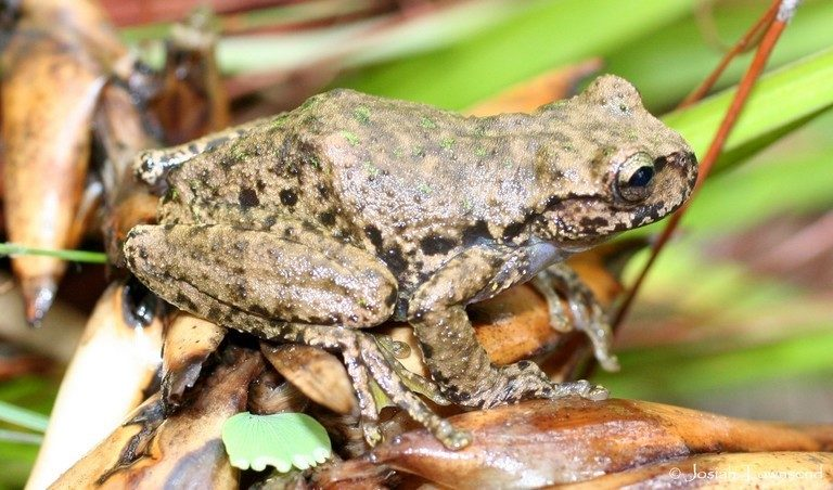 The critically endangered Guatemalan spikethumb frog (Plectrohyla guatemalensis), a resident of the Cerro Amay cloud forest. Image by Josiah H. Townsend via Wikimedia Commons (CC BY-SA 3.0).