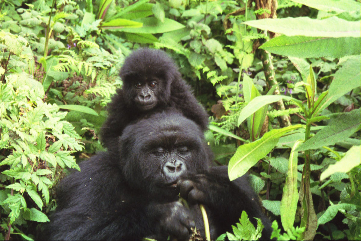 Salt fiends: Search for sodium puts Rwanda's gorillas in harm's way