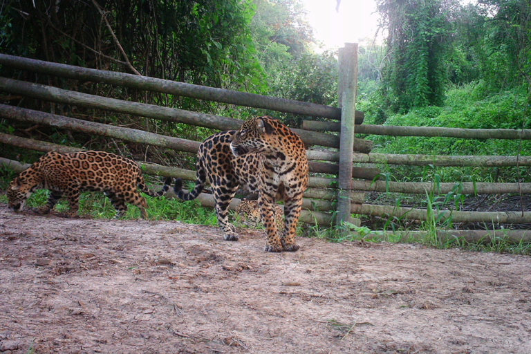 Camera trap image showing a jaguar on a road at San Miguelito. Courtesy of Duston Larsen.