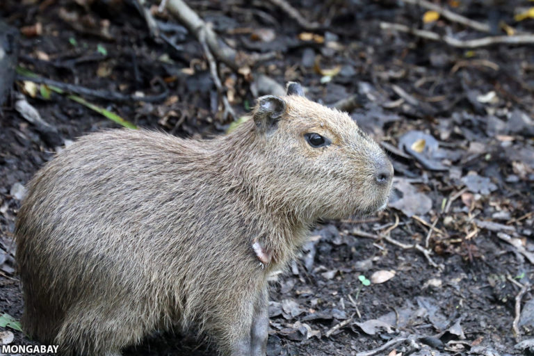 Capybara along the San Pablo River in San Miguelito. Photo by Rhett A. Butler for Mongabay