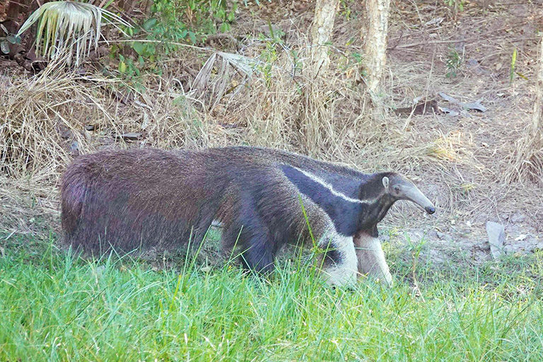 A giant anteater. Courtesy of the San Miguelito Facebook page.
