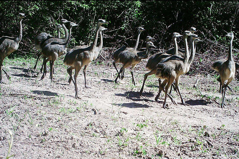 A group of rhea caught on camera trap. Courtesy of the San Miguelito Facebook page.