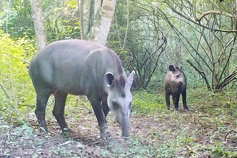 A mother tapir with its calf photographed by camera trap. Courtesy of the San Miguelito Facebook page.